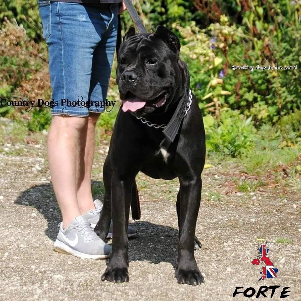 Forte 3 Years From Uk Italian Mastiff Breedercane Corso Kennel