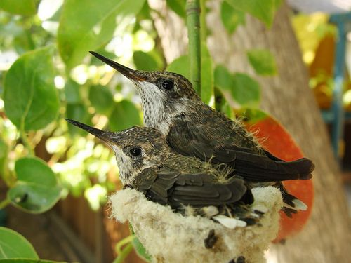 40+ When do baby hummingbirds leave the nest information