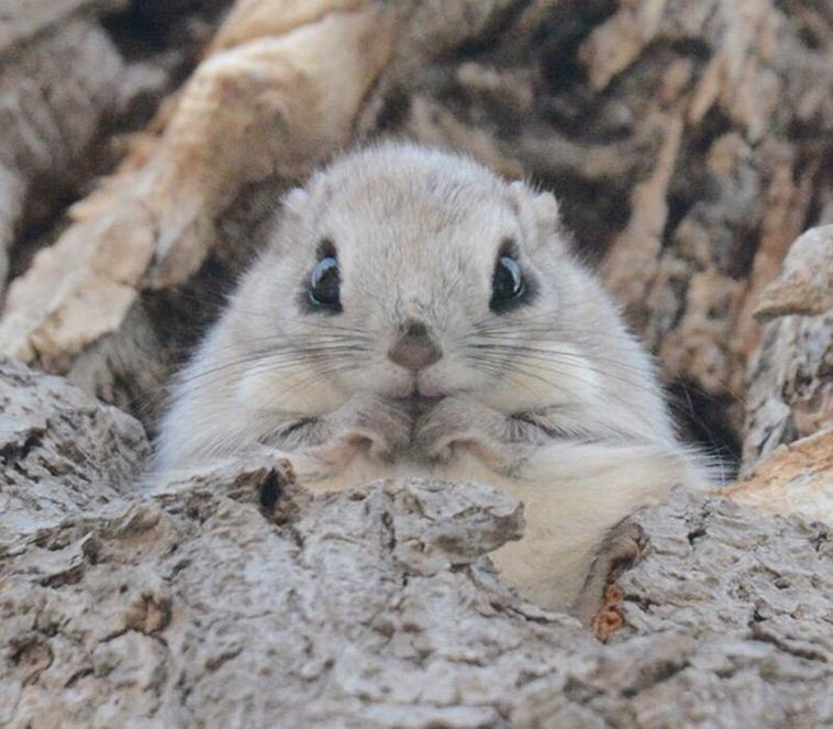 Japanese And Siberian Flying Squirrels Are Probably The ...