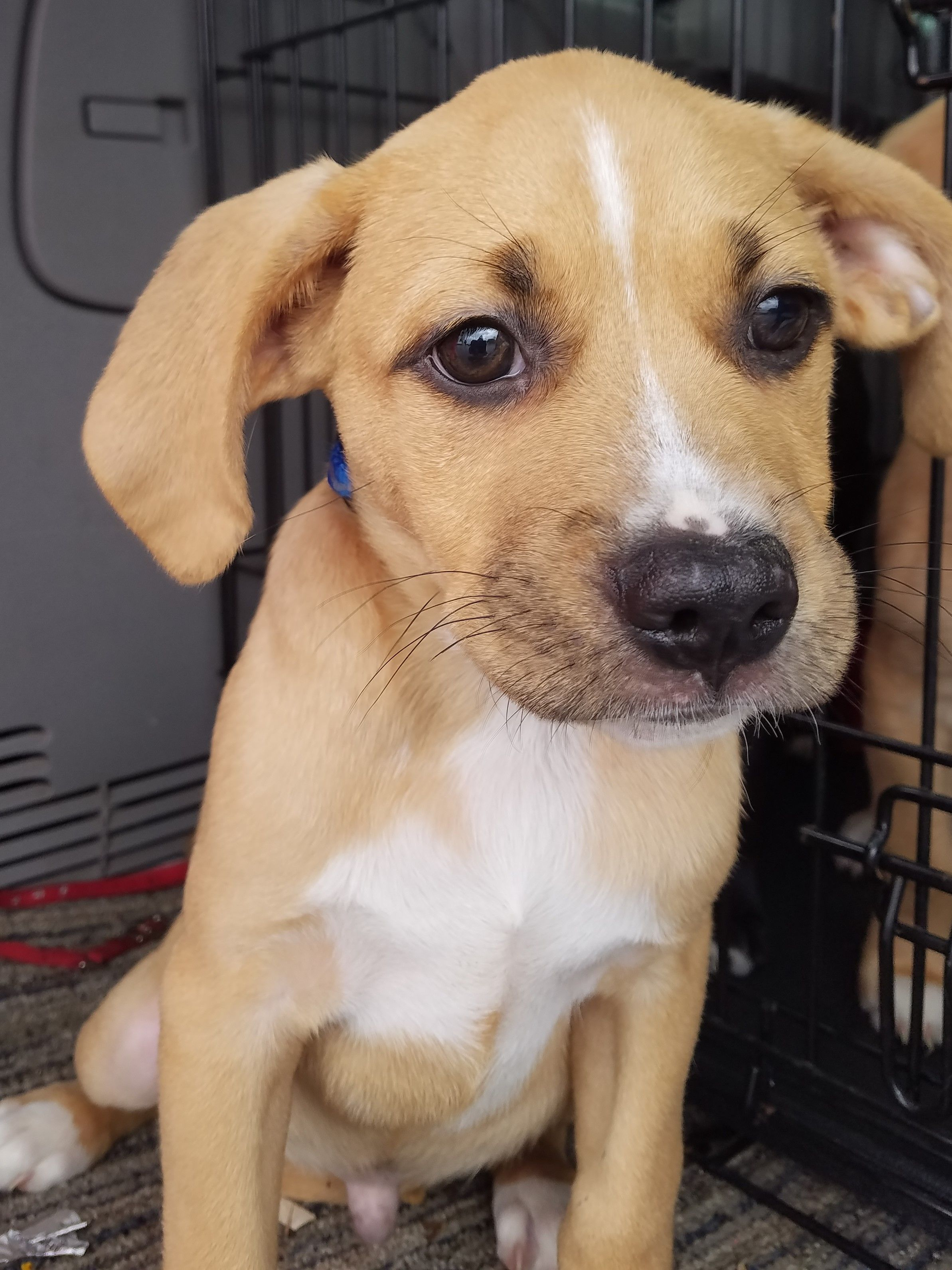 Sheprador dog for Adoption in Nashville, TN. ADN547337 on