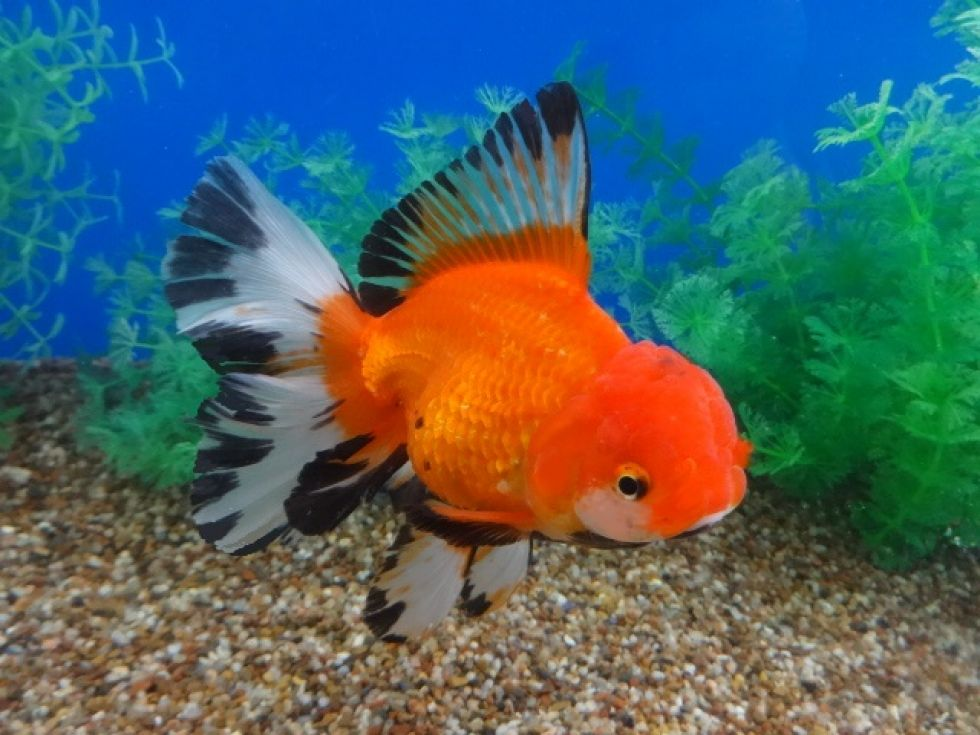 Lot 11226 Show Quality Red White Oranda With A Butterfly Tail And Black Highlights Oranda Goldfish Goldfish Koi Fish