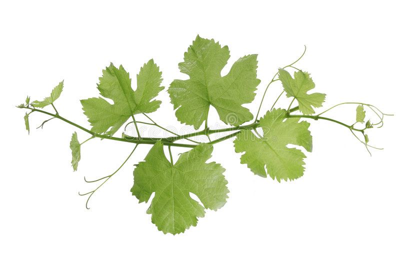 Grape Vines Grape Leaf On A White Background Sponsored Vines Grape Leaf Background White Ad Grape Vines Wine Leaves Grape Drawing