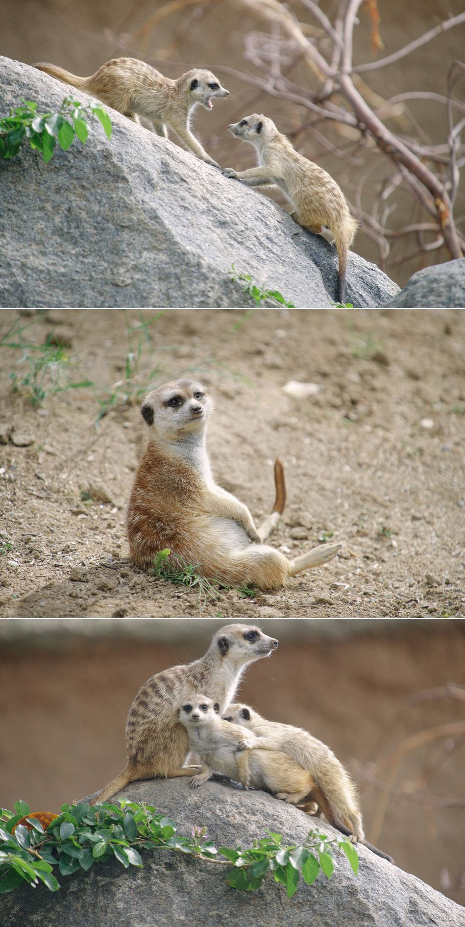 Meerkat matters at the San Diego Zoo.