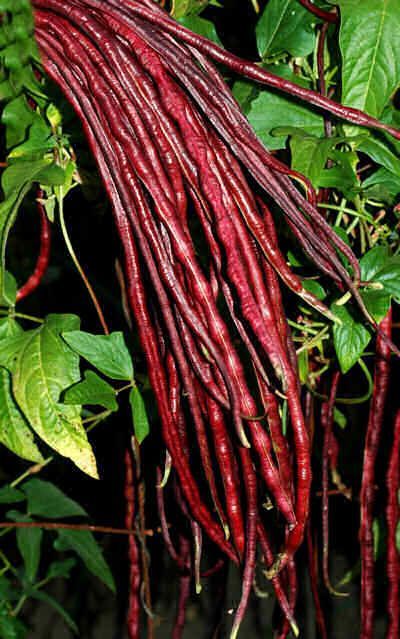 """Fríjoles chinos fideos rojo - son inusual color rojo, de hasta 22 """"de largo y son dulces y tiernos El color rojo tiene en frituras y Sautes pero se pierde en una cocción más prolongada.."""