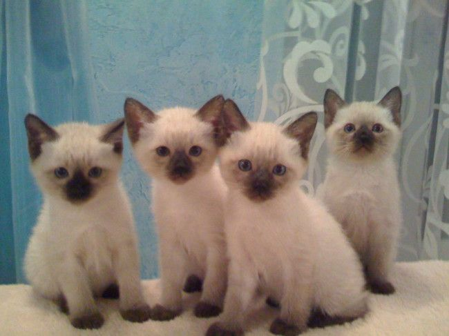 Baby Siamese Cats 34 Pictures Siamese Cats Cute Cats Cats