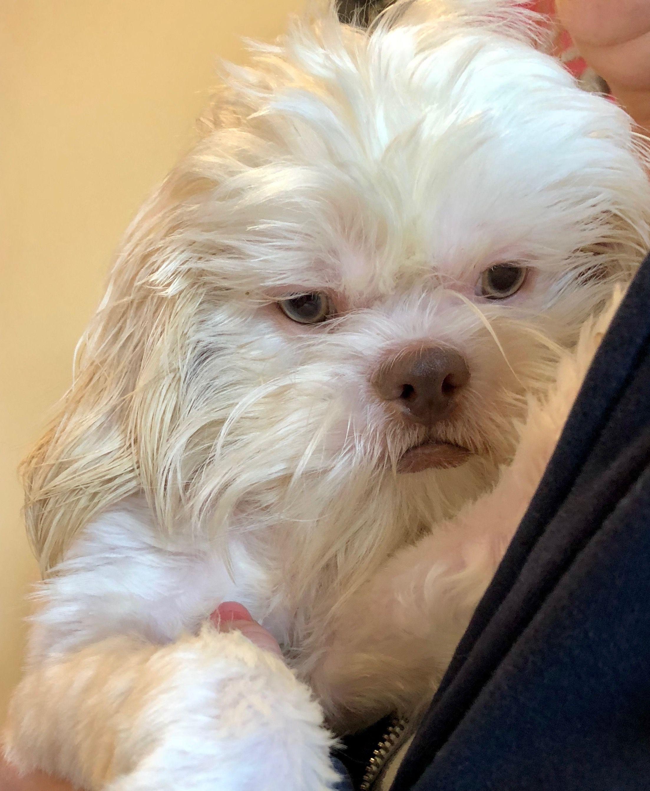 Shih Tzu Dog For Adoption In St Louis Park Mn Adn 809589 On