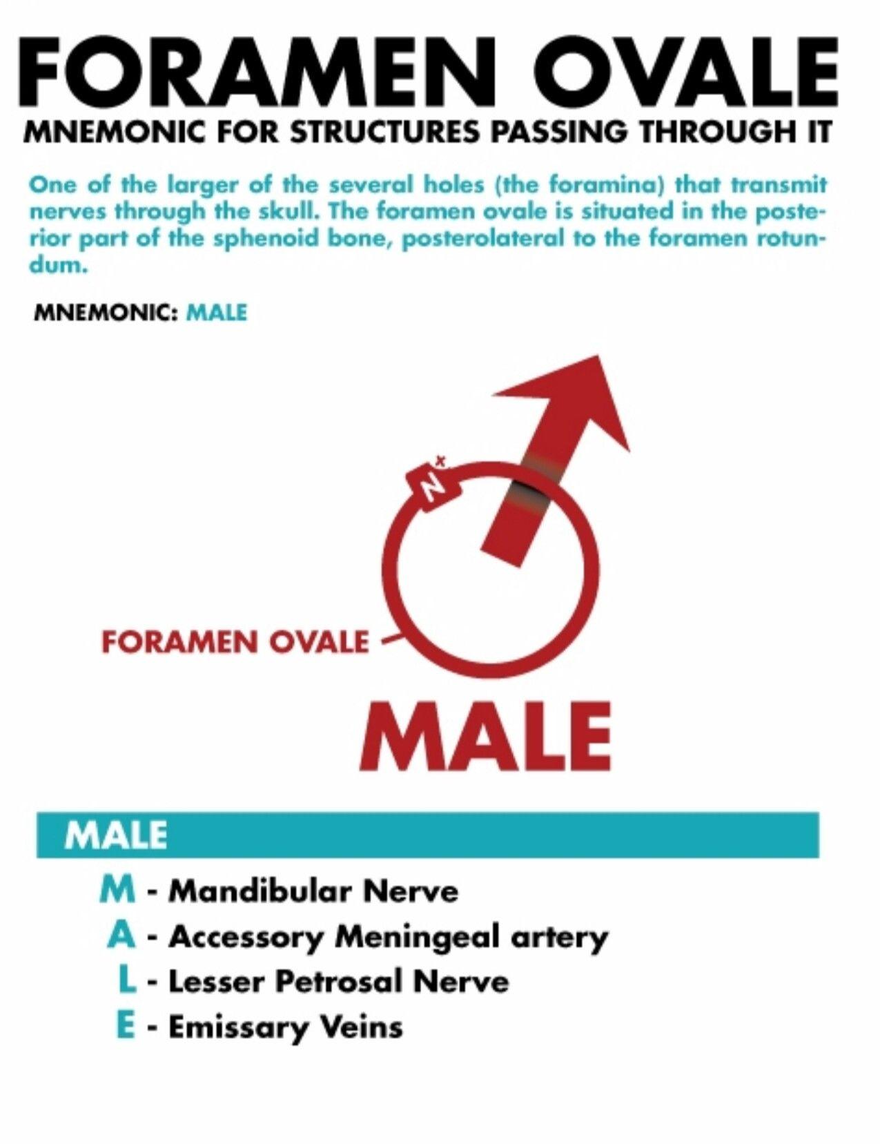 Foramen ovale | Head & Neck Anatomy | Pinterest | Anatomy