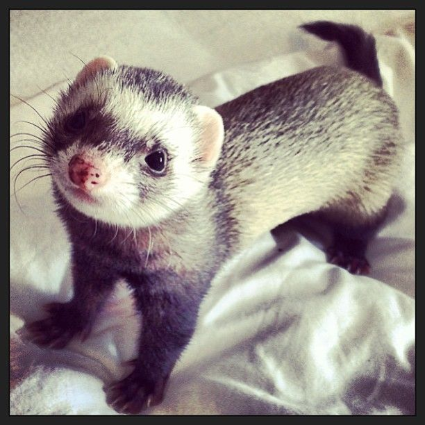 Ferret Finds Nothing He Likes On House Hunters Ferret Pet Ferret Cute Ferrets