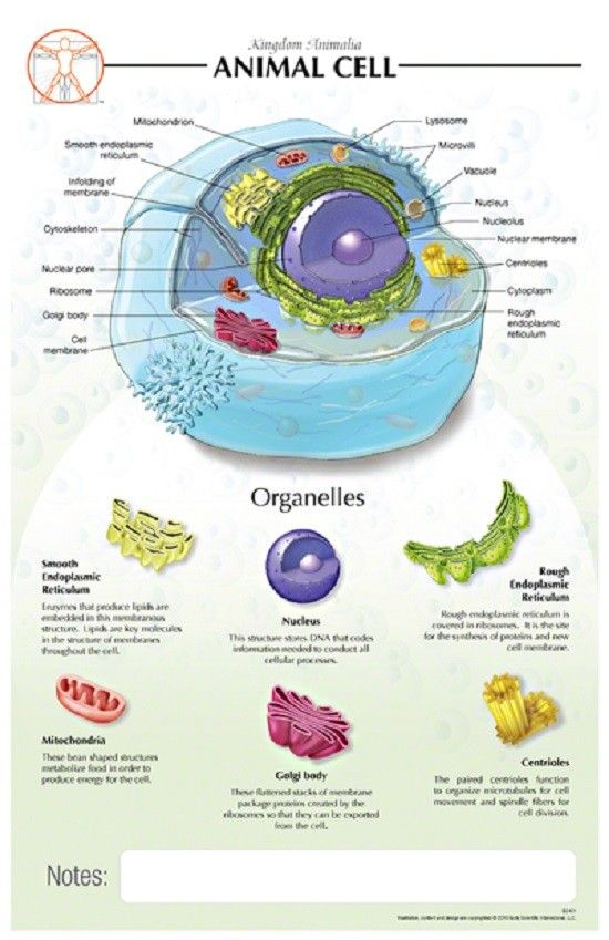 11 X 17 Animal Cell Poster Cells Project Animal Cell Animal Cell Project