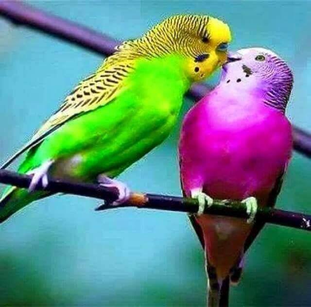 Kisses Please Birds Animals Beautiful Parakeet