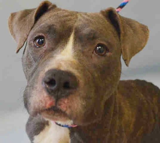 Manhattan Center HARMIONE – A1062766  FEMALE, BR BRINDLE, PIT BULL MIX, 3 yrs STRAY – STRAY WAIT, NO HOLD Reason STRAY Intake condition EXAM REQ Intake Date 01/12/2016 http://nycdogs.urgentpodr.org/harmione-a1062766/