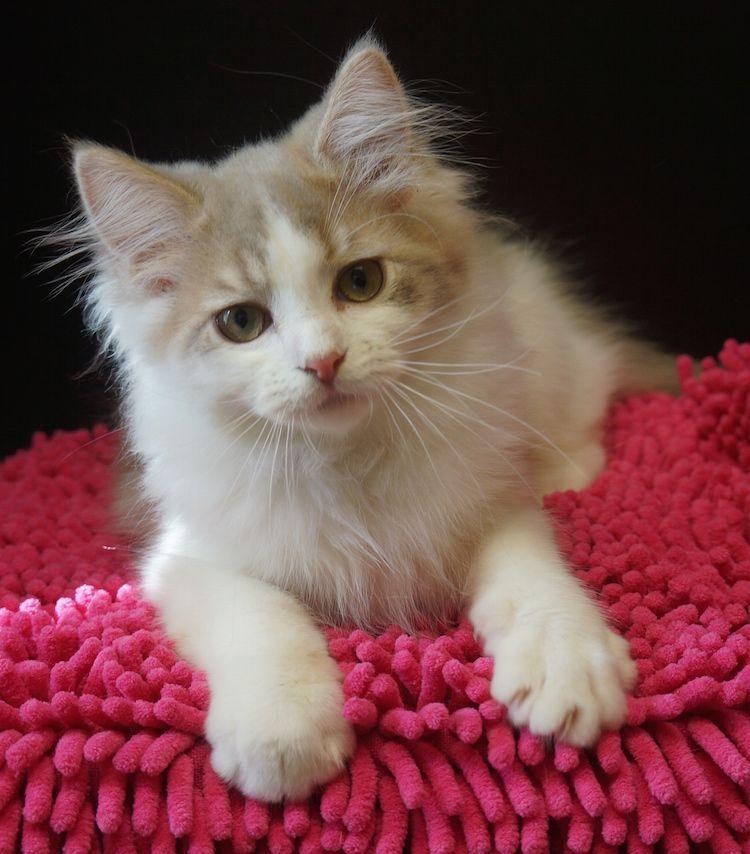 lilac bicolour ragdoll cat Животные, Кошки