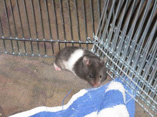 Black Tortoiseshell Umbrous Banded Sh Hamster Aa Toto U Baba Ll 1 Month Syrian Hamster Hamster Image