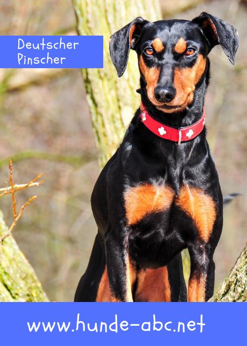 Deutscher Pinscher Deutscher Pinscher Hunderassen Hunde Rassen