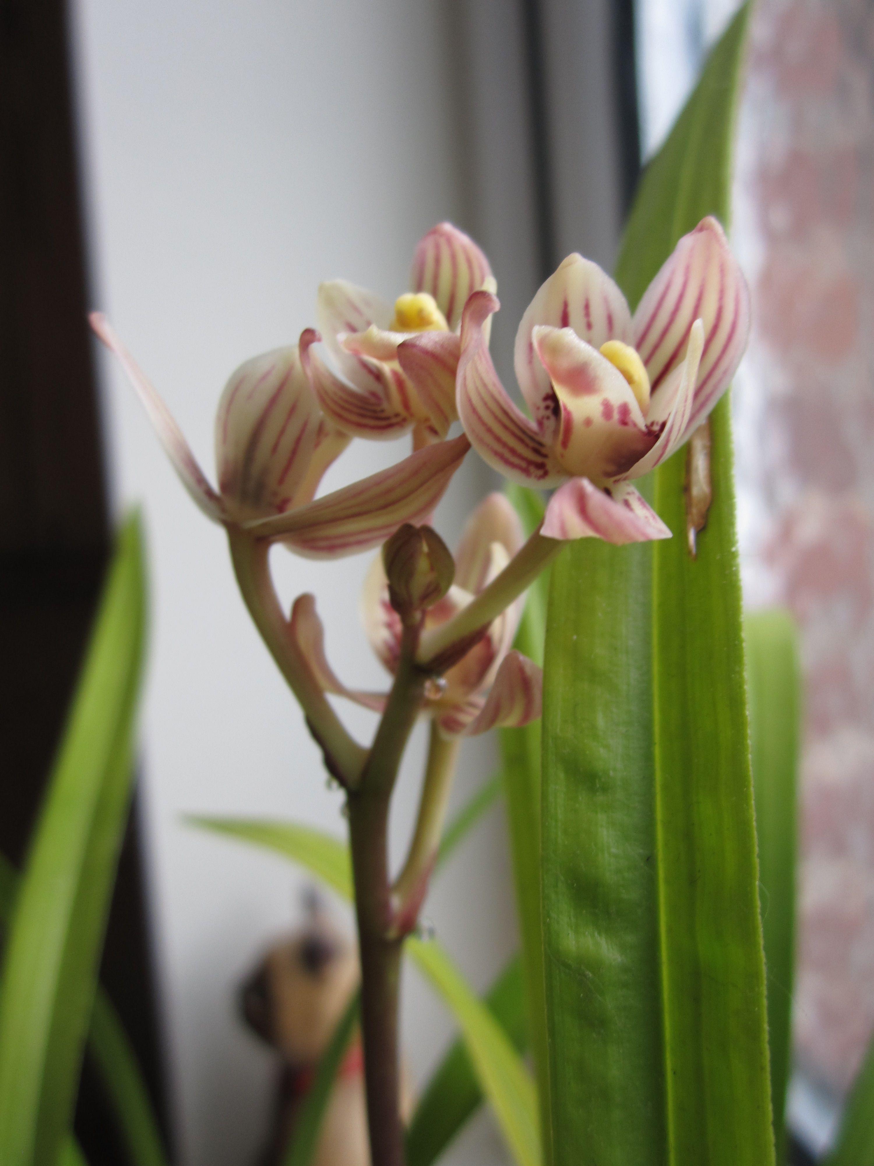 Cimbidium ensifolium