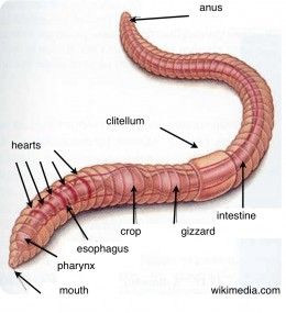 Earthworms Fun Activities To Help Kids Learn About Worms