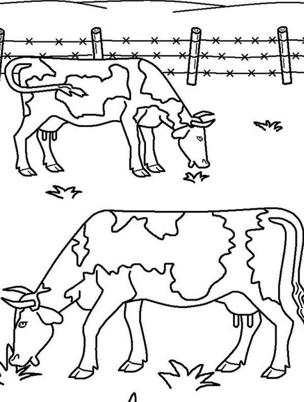 Farm Animal, : Two Ox Eating Grass On Farm Animal Coloring Page