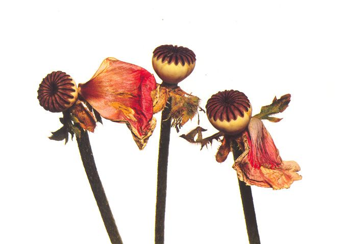 irving penn Single Oriental Poppy