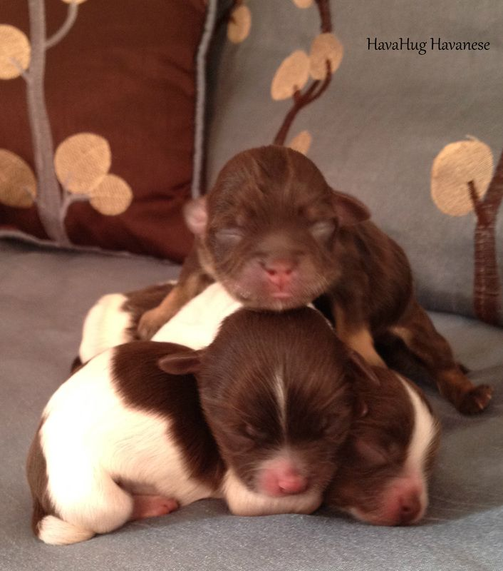 The Cutest Havanese Puppies Cute Little Dogs Puppies Havanese Puppies