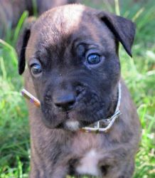 Adopt Jan on Boxer mastiff mix, Dogs, Rescue dogs