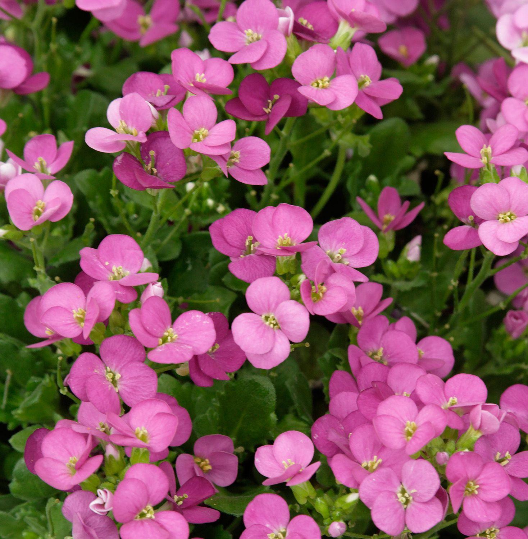 Arabis alpina subsp. caucasica Little Treasure Deep Rose