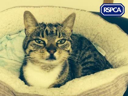 Jinxy Domestic Shorthair Crossbreed Cat 4 Years Rspca Harrogate District Branch Animals Cats Crossbreed