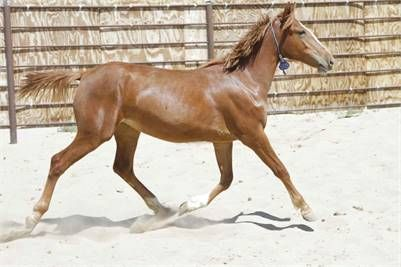 Warmbloods For Sale Horses Wild Horses Horse Rescue