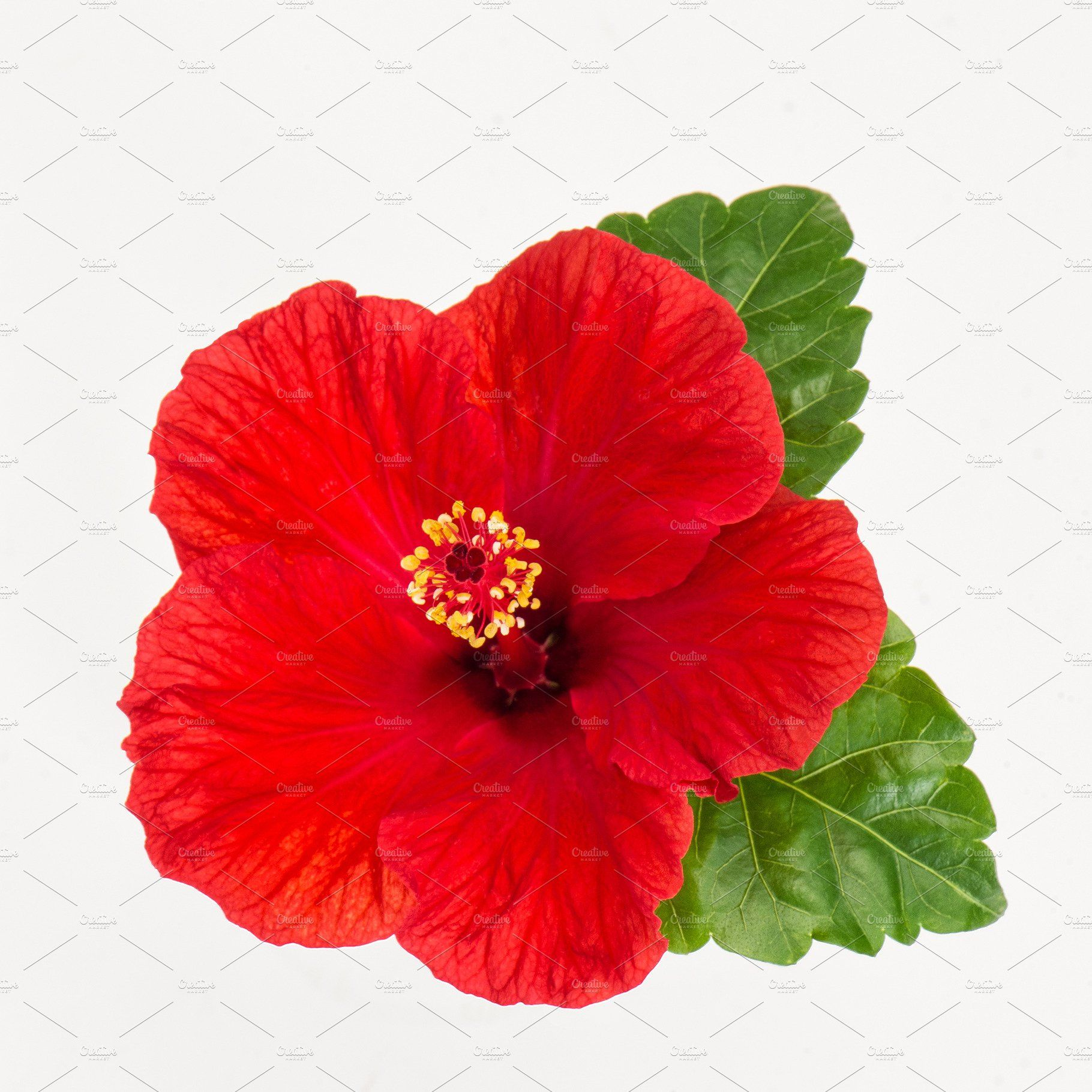 Hibiscus Flower Head Isolated White Flowers In 2020 Hibiscus Flowers White Hibiscus Red Blossoms
