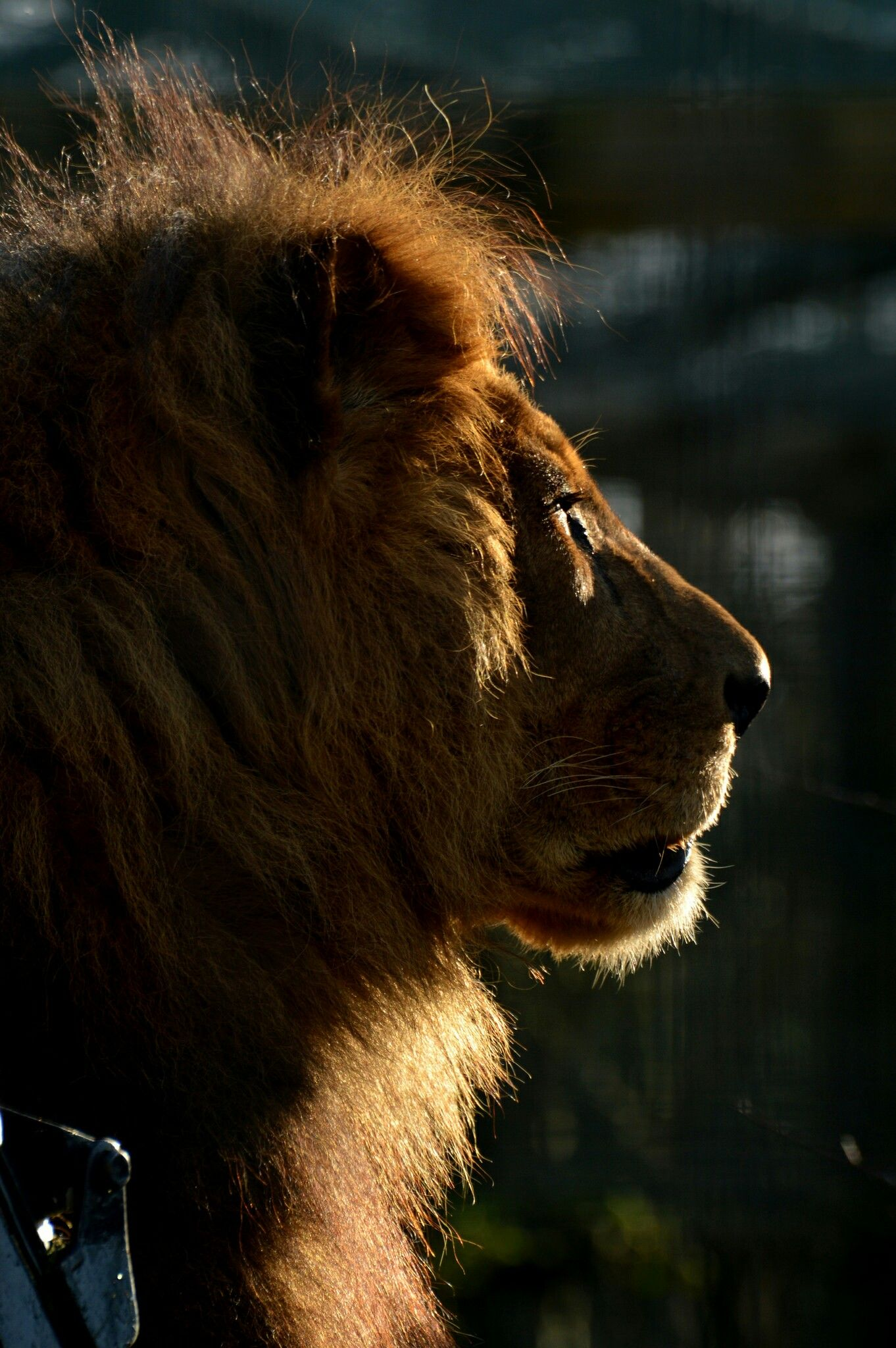 Pin på lions
