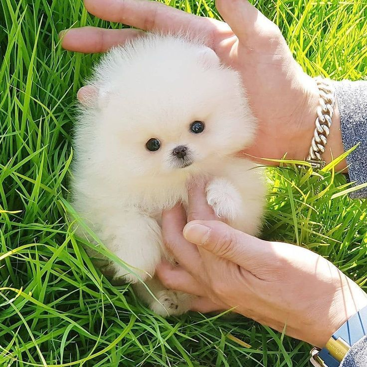 Cool Mini Pomeranian Puppies Pomeranian Puppy For Sale Pomeranian Puppy Teacup Pomeranian Puppy