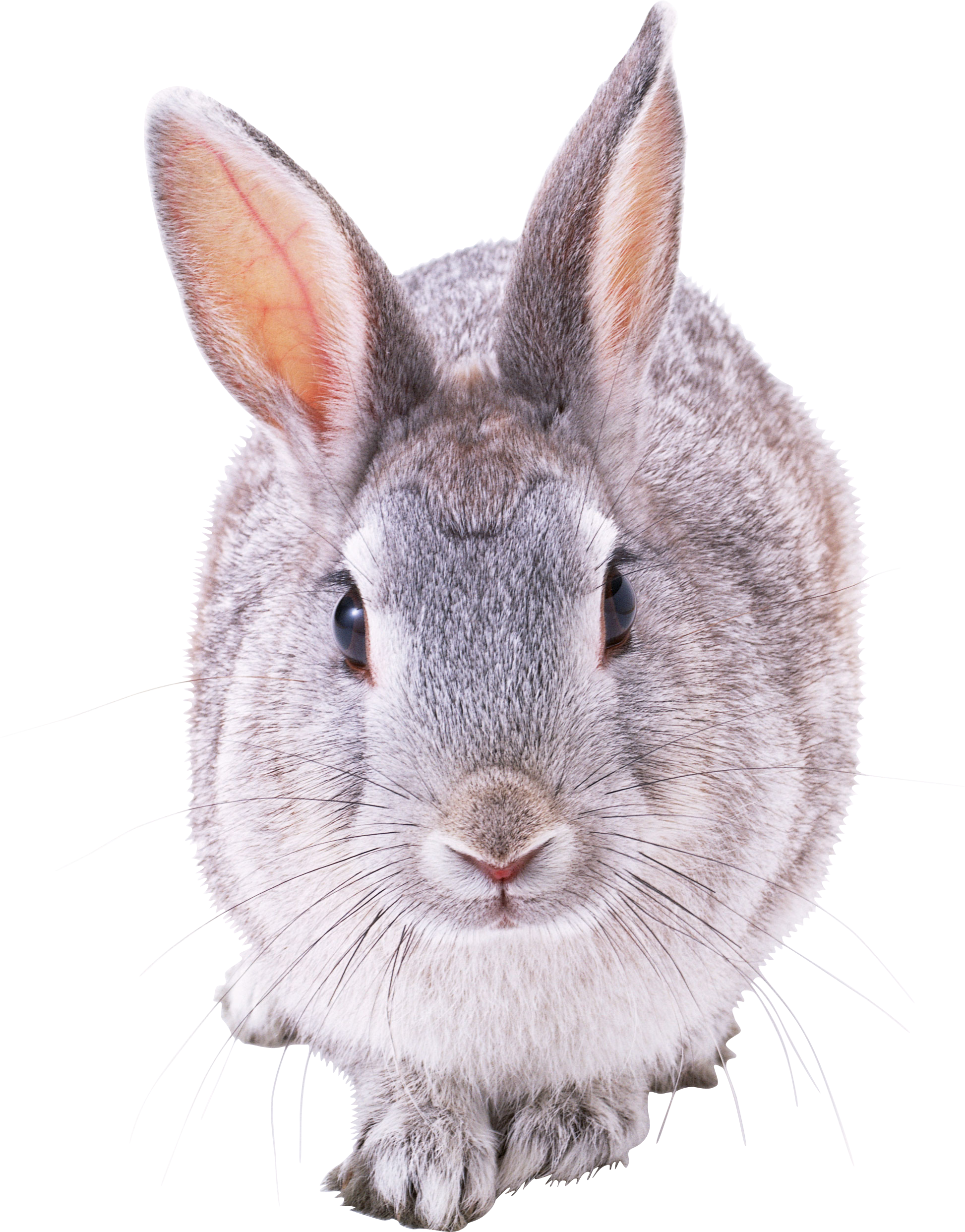 It is a graphic of Obsessed Cute Bunny Png Drawing