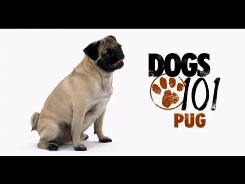 Dogs 101 Pug Eng Pugs Dogs 101 Dogs