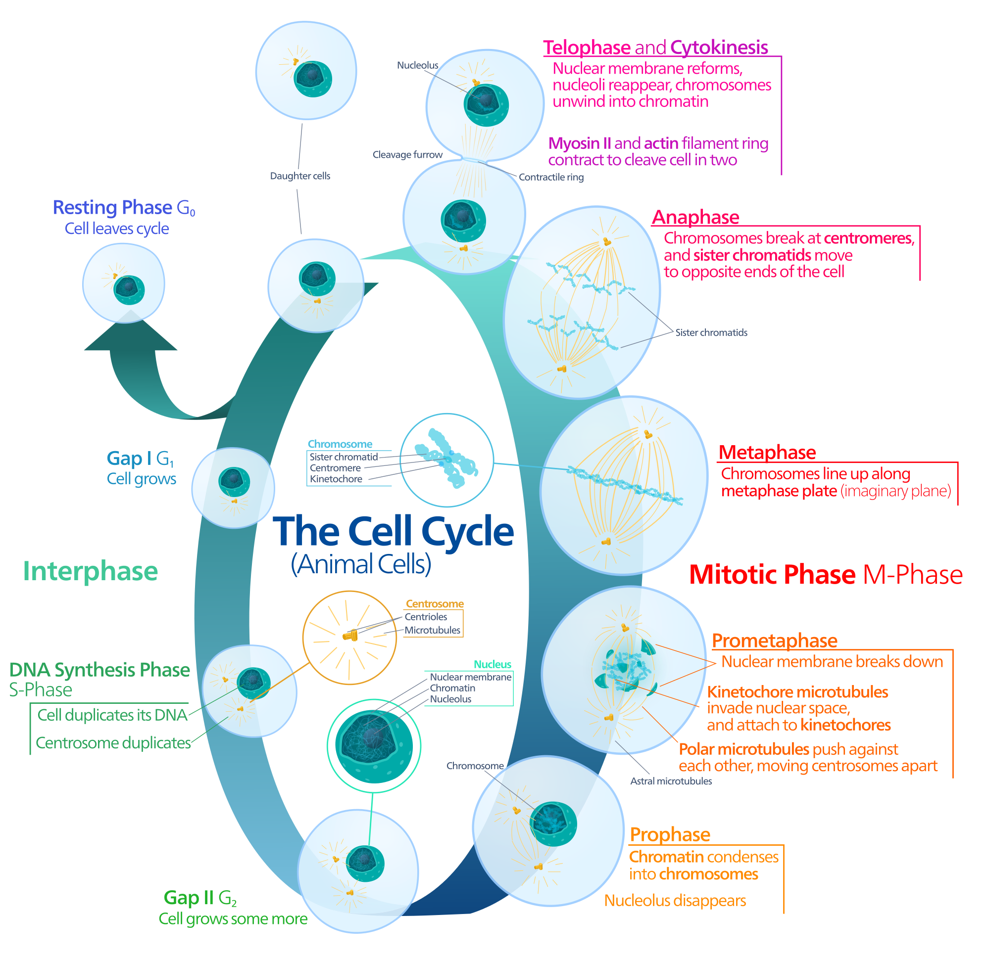 diagram of the animal cell cycle