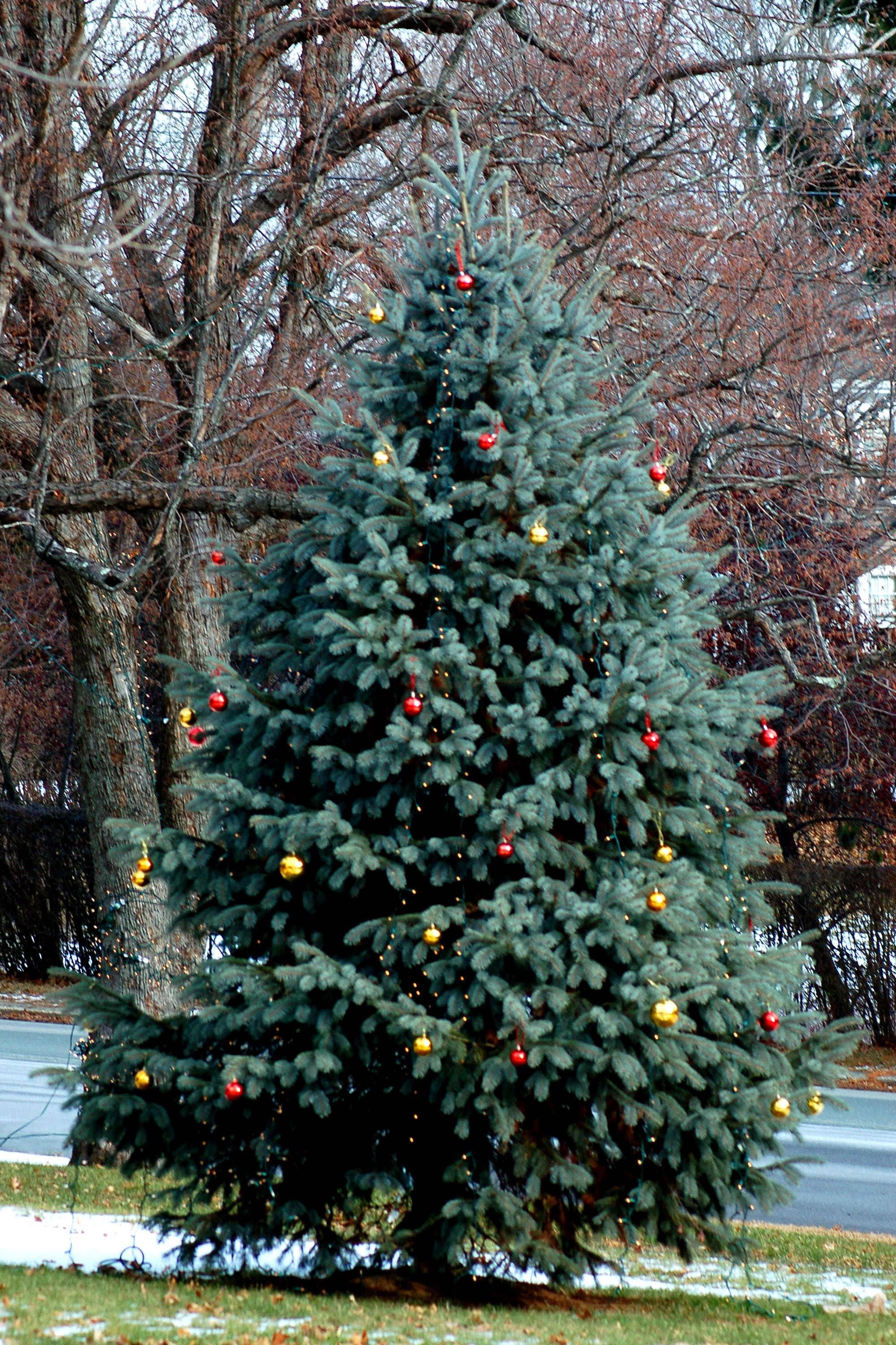 Outdoor Christmas trees can be decorated to provide cheer to an