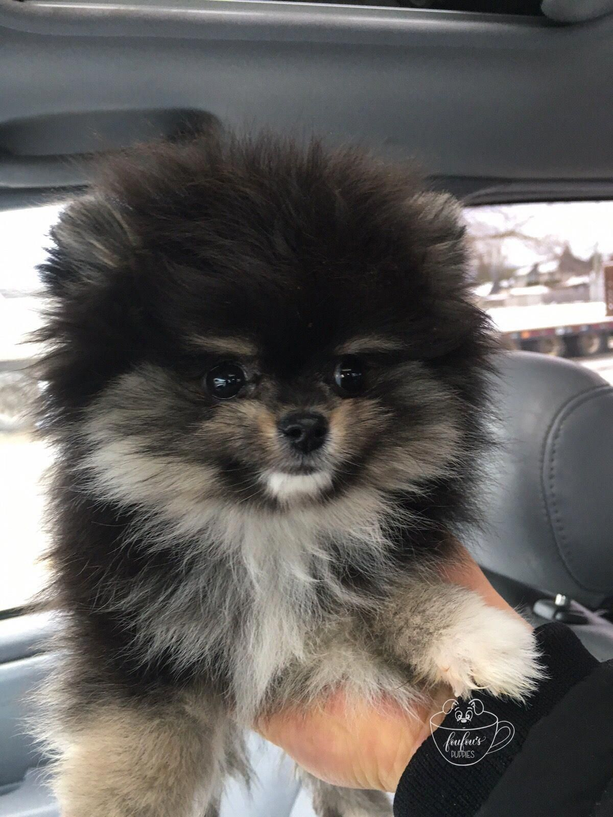 The many things we admire about the Fun Pomeranian Puppy Find Out More On  Pomeranians #pomeraniant #pomeranian_lovers #pomeranianfacts #teacuppomeranianpuppy