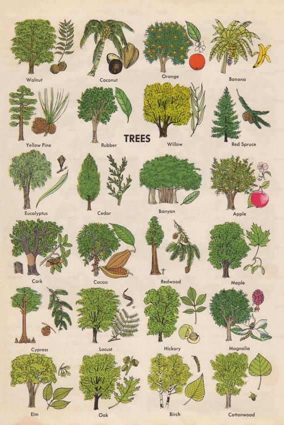 Digital Download of Vintage Tree Indentification T