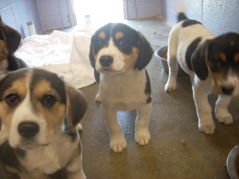 URGENT! EENIE, MINEE & MOE need loving homes asap!!!! CARROLLTON/AKRON, OHIO...Meet # 17 AVAILABLE ! ( 3- 10 WEEK OLD PUPS, 1-F. 2-M ) a Petfinder adoptable Beagle Dog | Carrollton, OH | Available for a limited time from the Carroll County Dog Pound, 2185 Kensington Rd. NE, Route 9,...