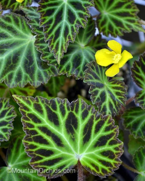 Risultati immagini per begonia tropicale in terrario