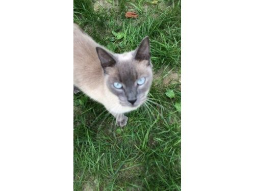 Found Cat Siamese Pawcatuck Connecticut Found Cat Cats Pets