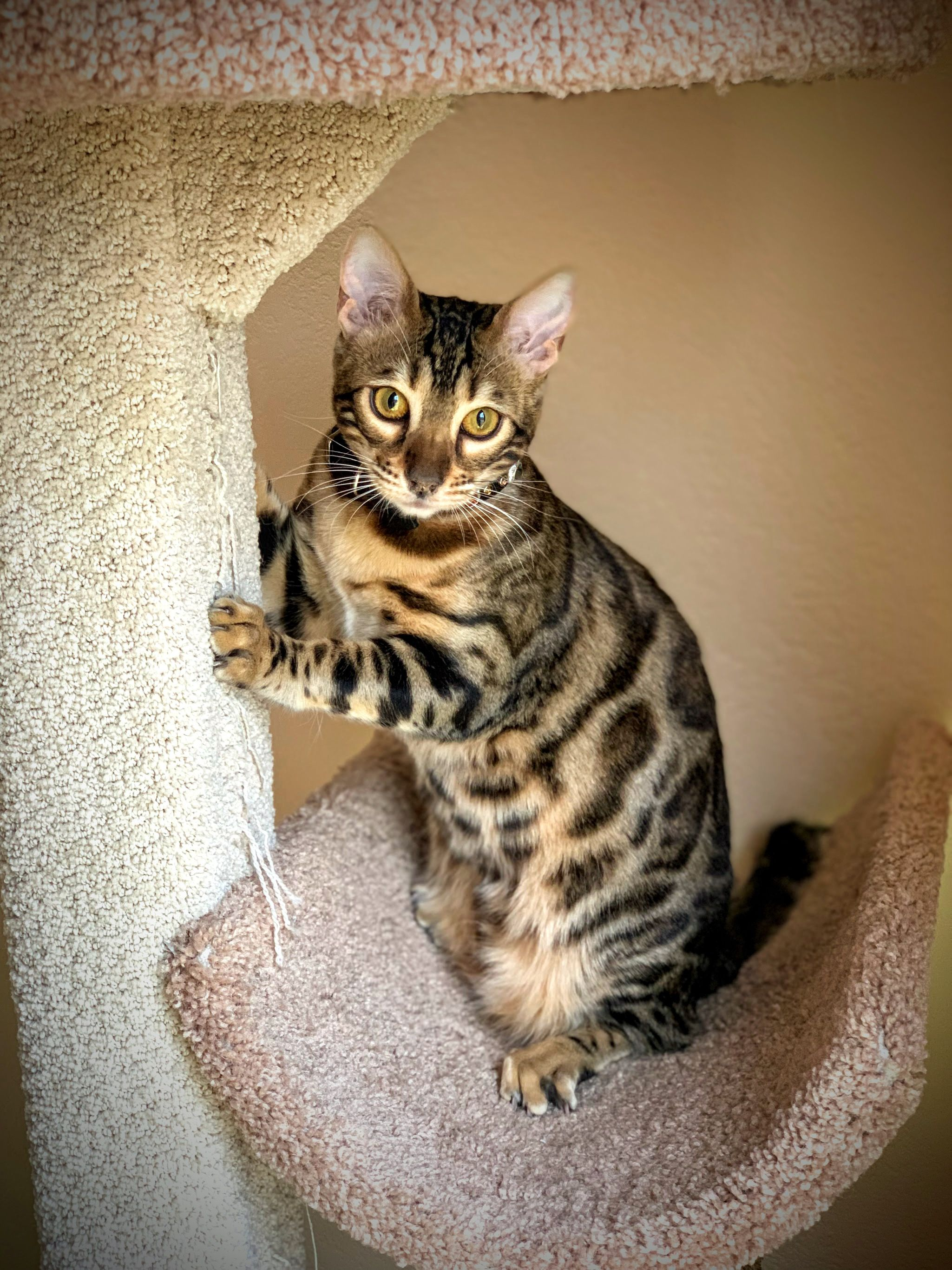 Bengal Kitten Tink Is 7 5 Months Cute Animals Images Fluffy Kittens Pretty Animals