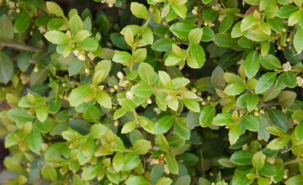 kranker buchsbaum die besten ersatzpflanzen gartendesign pinterest verwechselt immergr n. Black Bedroom Furniture Sets. Home Design Ideas