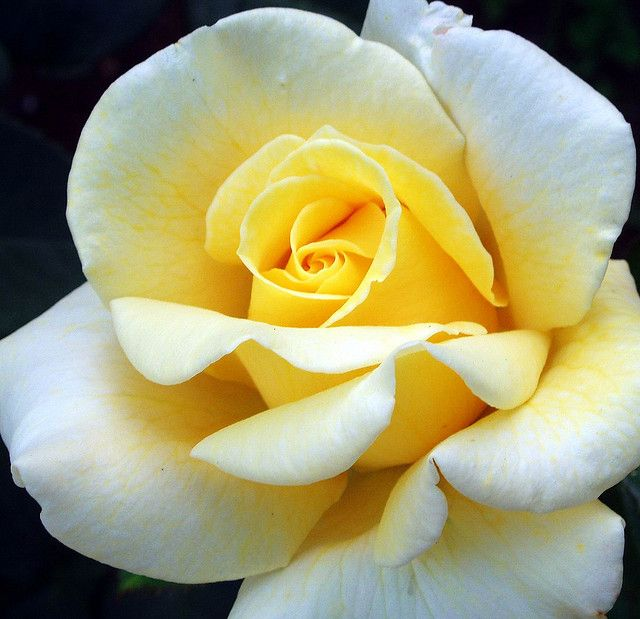White Petals Yellow Centre Yellow Roses Colorful Roses Flower Photos