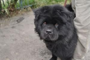 Adopt Akika On Chow Chow Dogs Black Chow Chow Dogs