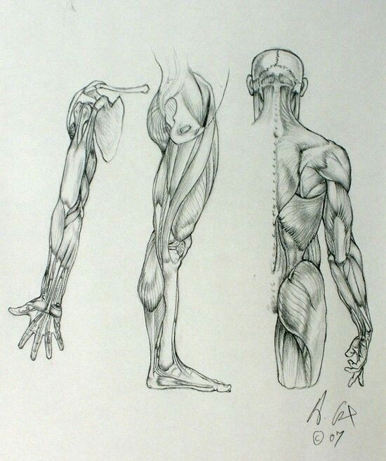 Pin By Suzanne Du Toit On Anatomy For Artists Anatomy Arm Anatomy