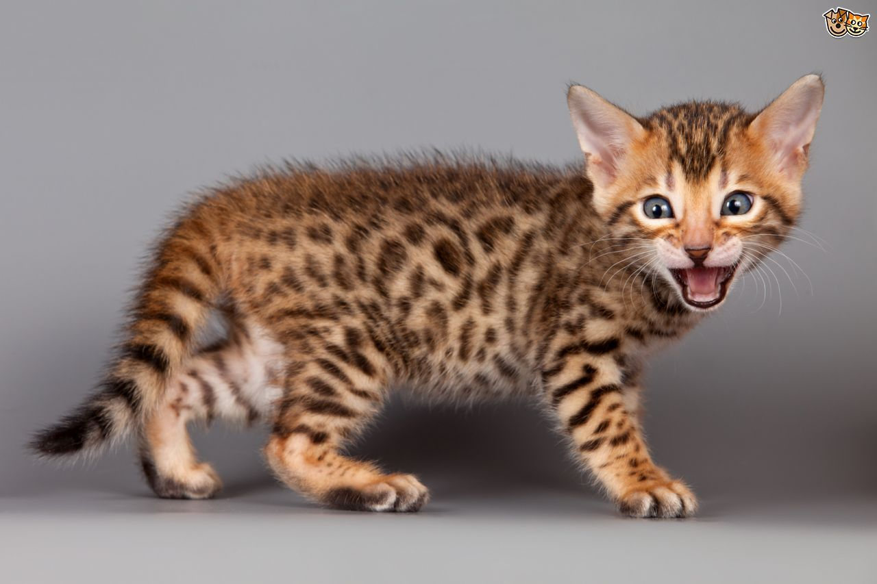 Cats And Kittens Uk Most Popular Cat Breeds Popular Cat Breeds Cat Breeds