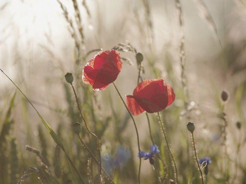 Tanja Riedel Mohnblumen Impression Im Sonnenuntergang Leinwandbilder Mohnblume Mohn Und Leinwand Kaufen