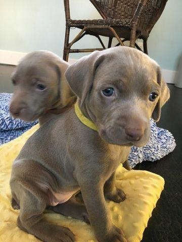 Litter of 8 Weimaraner puppies for sale in HOWARD CITY, MI