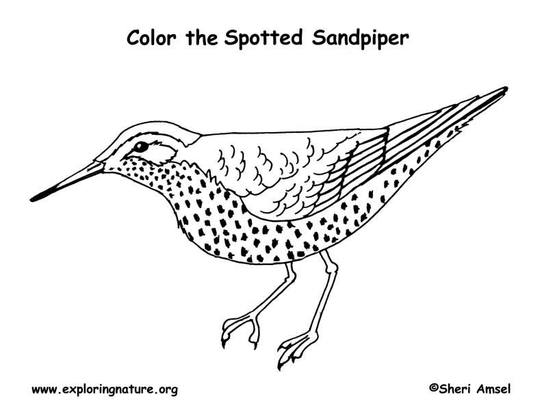 Sandpiper (Spotted) Coloring Page | Homeschooling-Science/Nature ...