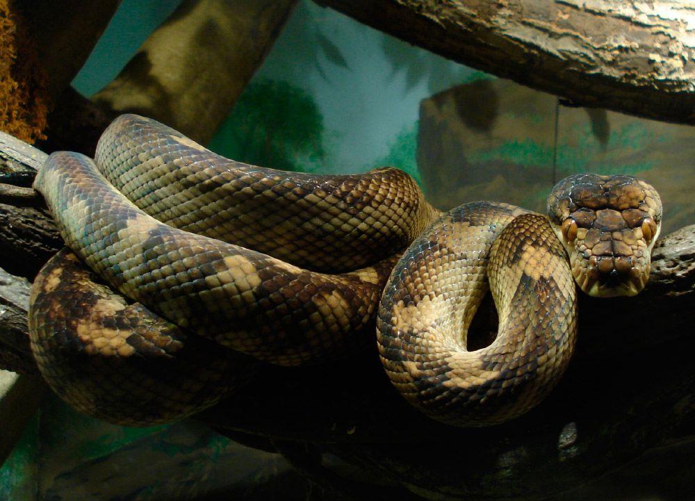 Atractivo Anatomía De Una Serpiente Pitón Motivo - Anatomía de Las ...