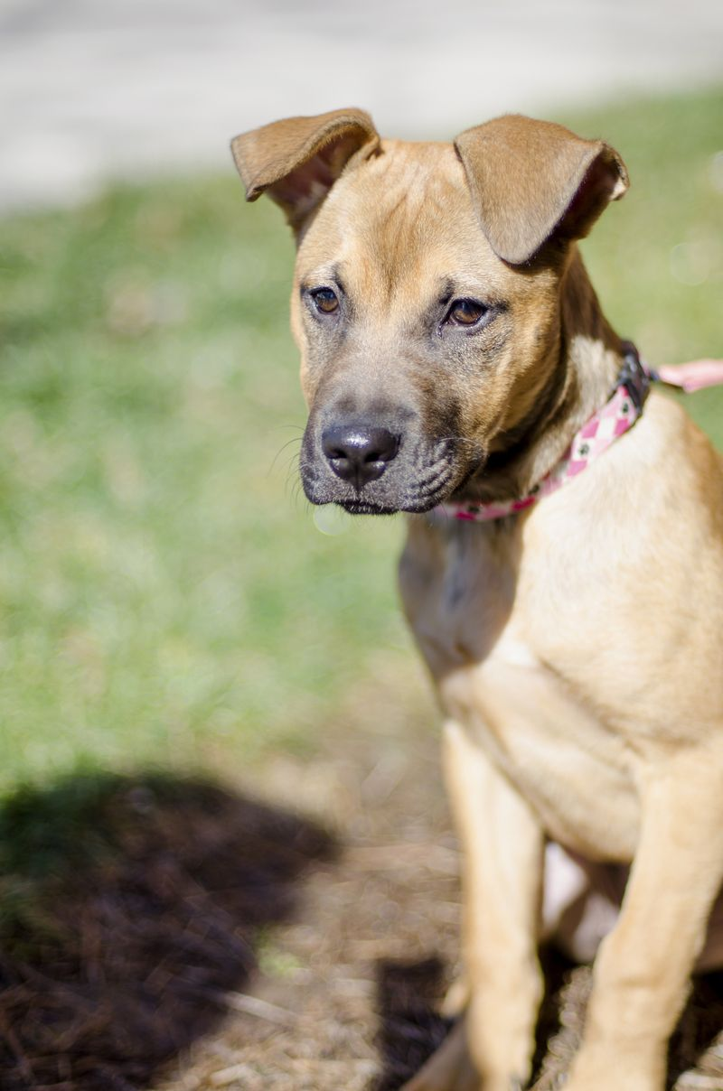 Adopt Ellie on Dogs, Boxer lab mixes, Animal rescue